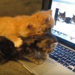 「二匹の猫が会話する」動画を見せたら、子猫ちゃん達も会話に参加した♪