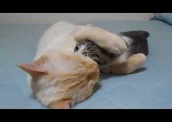 いびきをかいて寝ている猫をペロペロするニャンコ♪