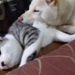 ネコが寝ているのをジーっと見ていたワンちゃん、ネコ枕を思いつく(^◇^)