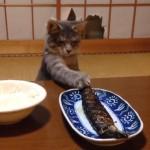子猫vs飼い主さん、焼き魚バトル♪