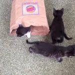 次から次へと子猫が出てくる、袋製の四次元ポケット!?