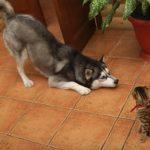 猫さんに「遊ぼう」とアピールするが、全く相手にされなくてシュンとするハスキー犬