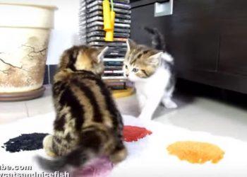 子猫vs子猫、優しいネコパンチにノックアウト(´・ω・`)