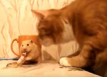おやつを食べるハムスター、そこに猫ちゃんが登場すると・・・?