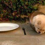 [ゴロンゴロン] なかなかどうして、ボウルから出られない子犬