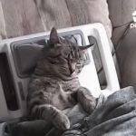 マッサージ機でマッサージされたまま熟睡するネコ