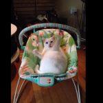 赤ちゃん用のゆりかごに乗りながらおもちゃで遊ぶ猫ちゃん
