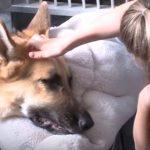 毒ヘビに襲われた女児を、自ら噛まれながらも女児を守りぬいたヒーロー犬
