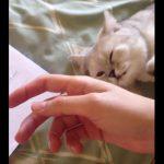 [8秒] 甘えん坊のニャンコ、手を引き寄せて~ハグッ