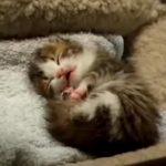 寝ながらアクビをする、モフモフの子猫