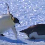 ペンギンだって氷の上は滑る?コテッ転んでしまうペンギン達が可愛い(^◇^)