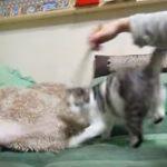 猫じゃらしを追ってグルグル回ってたら目が回る猫ちゃん