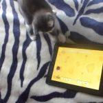 タブレットで楽しそうに遊ぶ子猫ちゃん(=^・^=)