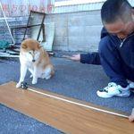 柴犬マリちゃんと飼い主のコント「大工に弟子入り編」