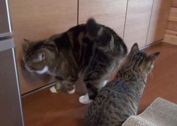 戸棚が開けられないネコが、ボス猫の力を借りた結果・・・