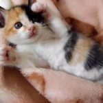 可愛い三毛猫の赤ちゃん♪