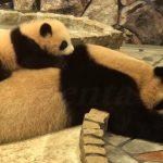 起きない母パンダを起こす子パンダがカワイイ♪