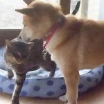 仲が良すぎる柴犬とネコちゃん