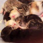 [生後6日]赤ちゃんネコ達が合体して寝てる姿・・・♡