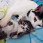 脚をピクピクさせている仔ネコを優しく寝かしつける母ネコ♪