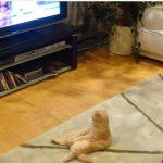 くつろぎながらTVを見る猫さん