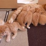 全部茶色!お母さんと6匹の仔ネコ