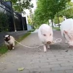 猫さんを散歩させるブタさん達がフリーダム(^◇^)