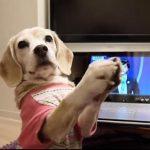 お・も・て・な・しをマスターするビーグル犬