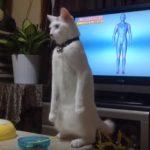 ネコの進化!?キリッっと直立するまゆげ猫ちゃん