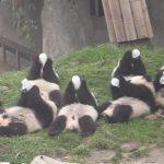 一斉にミルクを飲む子パンダ達♪