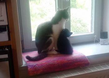 [感動] 保護した猫を先住猫と初めて対面させたら、すぐに親子のように仲良くなった