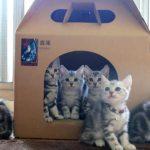 アメショーの子猫達が、シンクロして首ふり(^◇^)