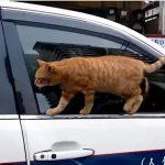 車の窓のフチをスタスタ歩くニャンコ、落ちた後のしぐさが可愛い♪