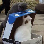 箱の中にネコちゃんを閉じ込めるイタズラニャンコ♪
