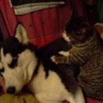 ハスキー犬をマッサージしてあげる猫ちゃん