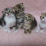 スコティッシュフォールドの子猫たちが同じ動きをする♪