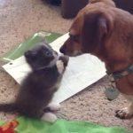 マンチカンの子猫が新しく迎えたワンちゃんにご挨拶♪