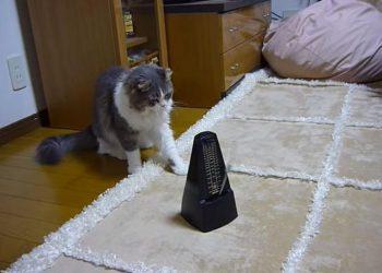 メトロノームに反応して体が動いてしまうネコ