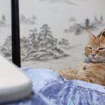 人間よりもこたつが似合う、茶トラ猫ちゃん