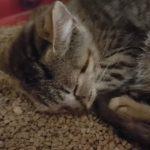 トイレの猫砂の上でグッスリ眠る猫さん