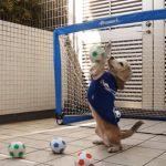 ゴールを守るビーグル犬のゴールキーパーが凄い