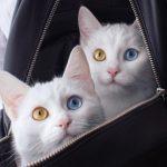 息をのむ美しさ・・・、オッドアイの双子猫ちゃん【猫画像】