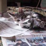 [猫あるある] 新聞を読ませない子猫ちゃん