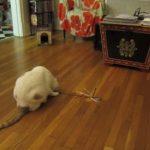飼い主さんが猫じゃらしで遊んでくれないニャ・・・こうなったら