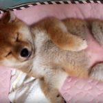 おへそ丸出しで寝る柴犬のイーグルくん