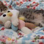 ぬいぐるみを抱いて、まったりお昼寝をするネコちゃん♪