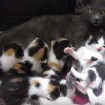 8匹の子を出産したお母さんネコと子供達