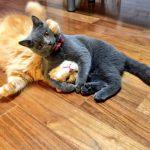 「ニーブラ!」 ヘッドロックをかける猫ちゃん【猫画像】