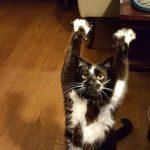 両手を広げて「おやつちょ~だいニャ」とアピールする猫ちゃんが可愛い