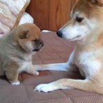 [モフモフ] 手が短すぎてパンチが届かない柴犬の赤ちゃんが可愛い